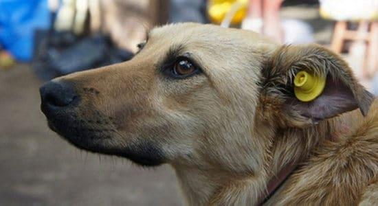 бирка в ухе бродячей собаки
